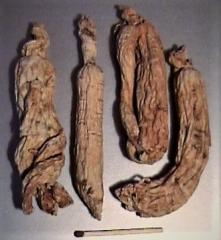 Ginseng - Kraftwurzel